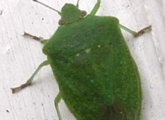 Insetti il regno della natura tutto sugli animali for Cimice insetto