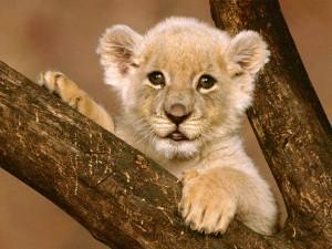 L 39 accoppiamento nel regno animale for Sfondi leone