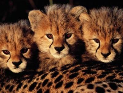 Ghepardo il regno della natura - Uomo leone a letto ...