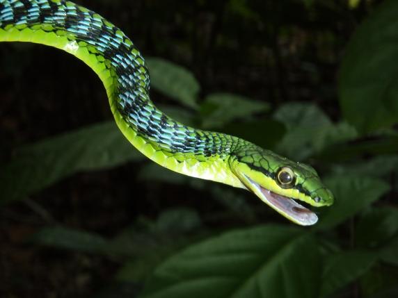 Serpente volante il regno della natura for Nomi di rettili