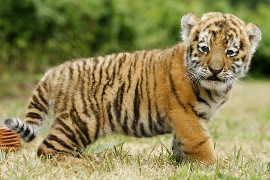 Tigre siberiana il regno della natura for Disegni delle tigri